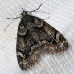 Microdes asystata at Deua National Park (CNM area) - 16 Apr 2021