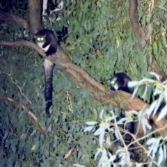 Petauroides volans (Greater Glider) at Wodonga - 25 Mar 2021 by WingsToWander