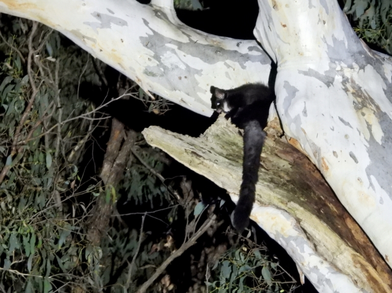 Petauroides volans at Wodonga - 25 Mar 2021