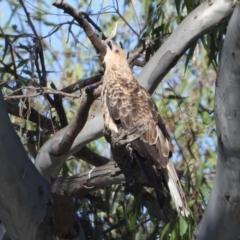 Haliastur sphenurus (Whistling Kite) at Albury - 31 Mar 2021 by WingsToWander