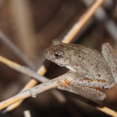 Litoria peronii (Peron's Tree-Frog) at Wonga Wetlands - 31 Mar 2021 by WingsToWander