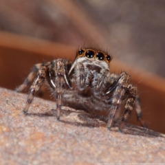 Jotus sp. (genus) (Unidentified Jotus Jumping Spider) at Gungaderra Grasslands - 26 Apr 2021 by DPRees125