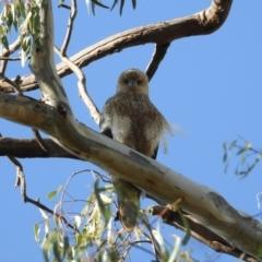 Haliastur sphenurus (Whistling Kite) at Wonga Wetlands - 30 Mar 2021 by WingsToWander