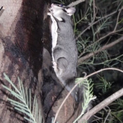 Petaurus norfolcensis (Squirrel Glider) at Wodonga - 13 Apr 2021 by WingsToWander