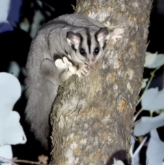 Petaurus norfolcensis (Squirrel Glider) at Albury - 15 Apr 2021 by WingsToWander