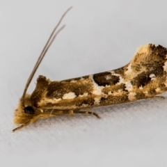 Moerarchis inconcisella (A tineid moth) at Melba, ACT - 9 Jan 2021 by Bron