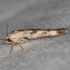 Stathmopodidae (family) (A Concealer moth) at Melba, ACT - 9 Jan 2021 by Bron