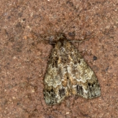 Arrade destituta (A Noctuid moth) at Melba, ACT - 10 Jan 2021 by Bron