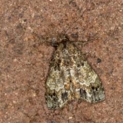 Arrade destituta (A Noctuid moth) at Melba, ACT - 10 Jan 2021 by Bron