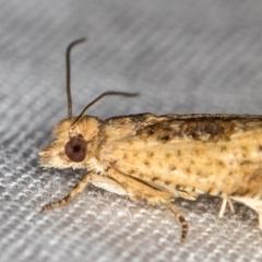 Crocidosema plebejana (Cotton Tipworm Moth) at Melba, ACT - 10 Jan 2021 by Bron