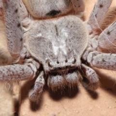 Isopeda sp. (genus) at Evatt, ACT - 26 Apr 2021