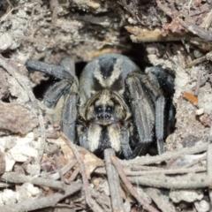 Tasmanicosa godeffroyi (Garden Wolf Spider) at Downer, ACT - 8 Jan 2021 by TimL