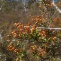 Bursaria spinosa (Native Blackthorn) at Mongarlowe, NSW - 22 Apr 2021 by MelitaMilner