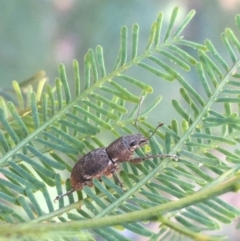 Unidentified Weevil (Curculionoidea) (TBC) at Cotter Reserve - 29 Apr 2021 by Ned_Johnston