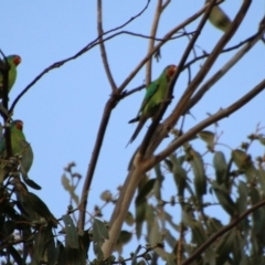 Lathamus discolor (Swift Parrot) at Hughes Grassy Woodland - 29 Apr 2021 by LisaH