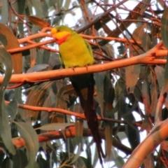 Polytelis swainsonii (Superb Parrot) at Hughes Grassy Woodland - 29 Apr 2021 by LisaH