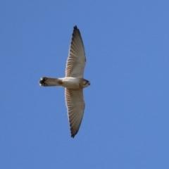 Falco cenchroides (Nankeen Kestrel) at Hume, ACT - 29 Apr 2021 by RodDeb