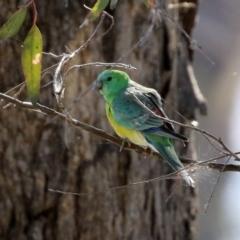 Psephotus haematonotus (Red-rumped Parrot) at Hume, ACT - 29 Apr 2021 by RodDeb