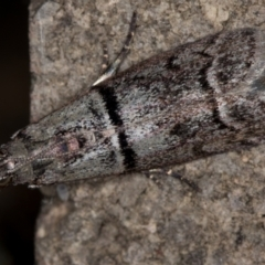 Cryptoblabes euraphella at Melba, ACT - 9 Jan 2021