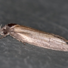 Oecophoridae (family) (Unidentified Oecophorid concealer moth) at Melba, ACT - 8 Jan 2021 by Bron