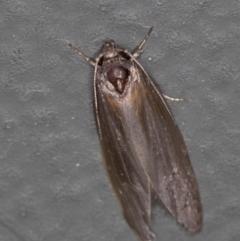 Oecophoridae (family) at Melba, ACT - 8 Jan 2021