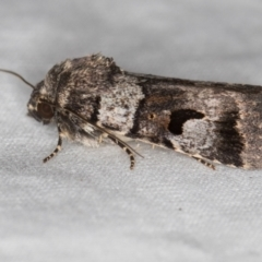 Thoracolopha flexirena (Zoned Noctuid) at Melba, ACT - 8 Jan 2021 by Bron