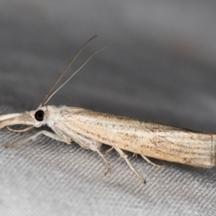 Culladia cuneiferellus (A crambid moth) at Melba, ACT - 6 Jan 2021 by Bron