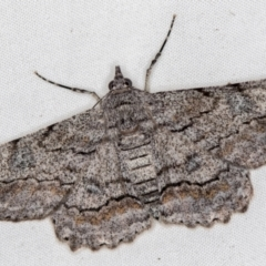 Cleora displicata (A Geometrid moth) at Melba, ACT - 7 Jan 2021 by Bron
