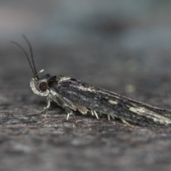 Barea codrella (A concealer moth) at Melba, ACT - 7 Jan 2021 by Bron