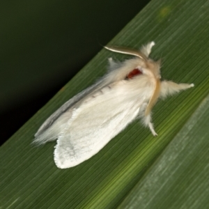 Trichiocercus sparshalli at Melba, ACT - 7 Jan 2021
