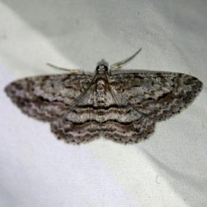 Didymoctenia exsuperata at Deua National Park (CNM area) - 16 Apr 2021