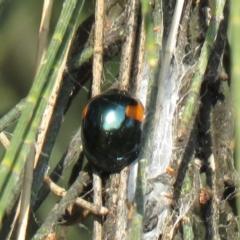 Orcus bilunulatus (Ladybird beetle) at Monash, ACT - 30 Apr 2021 by SandraH