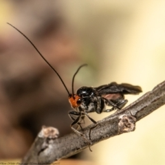 Callibracon capitator (White Flank Black Braconid Wasp) at Woodstock Nature Reserve - 30 Apr 2021 by Roger