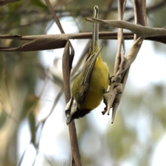 Falcunculus frontatus (Crested Shrike-tit) at Tidbinbilla Nature Reserve - 30 Apr 2021 by davidcunninghamwildlife