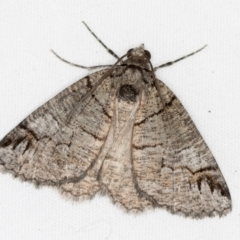 Austroterpna paratorna (Rounded Grey) at Melba, ACT - 1 Apr 2021 by Bron
