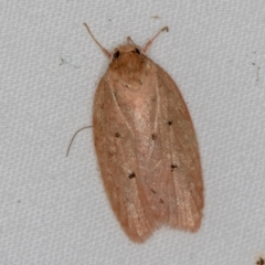 Garrha pudica (A concealer moth) at Melba, ACT - 4 Apr 2021 by Bron