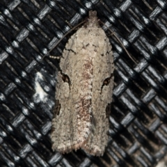 Meritastis pyrosemana (A Tortricid moth) at Melba, ACT - 4 Apr 2021 by Bron