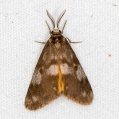 Anestia (genus) (A tiger moth) at Melba, ACT - 4 Apr 2021 by Bron