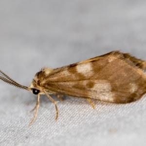 Anestia (genus) at Melba, ACT - 4 Apr 2021