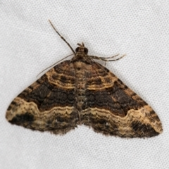 Epyaxa subidaria (Subidaria Moth) at Melba, ACT - 4 Apr 2021 by Bron
