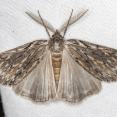 Ciampa arietaria (Forked Pasture-moth) at Melba, ACT - 5 Apr 2021 by Bron