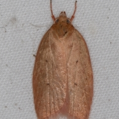 Garrha leucerythra (A concealer moth) at Melba, ACT - 4 Apr 2021 by Bron
