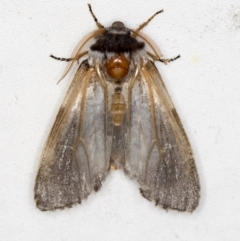 Oenosandra boisduvalii (Boisduval's Autumn Moth) at Melba, ACT - 5 Apr 2021 by Bron