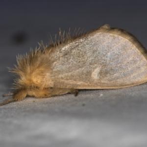 Euproctis edwardsii at Melba, ACT - 5 Apr 2021