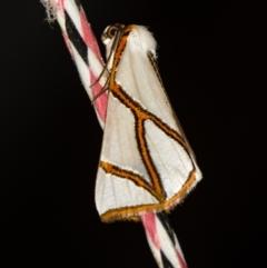 Thalaina clara (Clara's Satin Moth) at Melba, ACT - 5 Apr 2021 by Bron