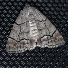 Stibaroma melanotoxa (Grey-caped Line-moth) at Melba, ACT - 6 Apr 2021 by Bron