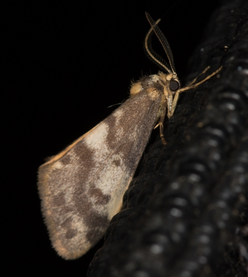 Anestia (genus) at Melba, ACT - 6 Apr 2021