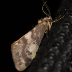Anestia (genus) (A tiger moth) at Melba, ACT - 6 Apr 2021 by Bron