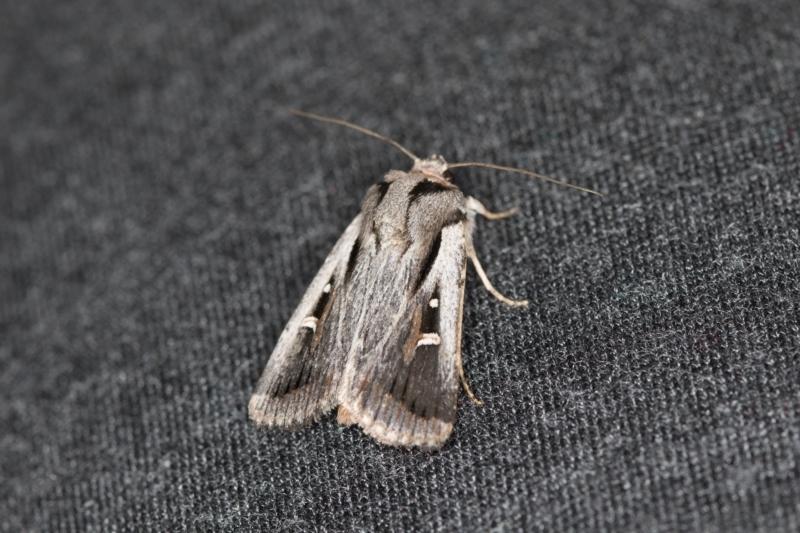 Proteuxoa undescribed species near paragypsa at Melba, ACT - 6 Apr 2021