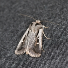 Proteuxoa undescribed species near paragypsa (A Noctuid moth) at Melba, ACT - 6 Apr 2021 by Bron